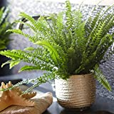 Nephrolepis Boston Fern | Indoor 25-35cm Potted Plant for Home or Office | Best House Plant