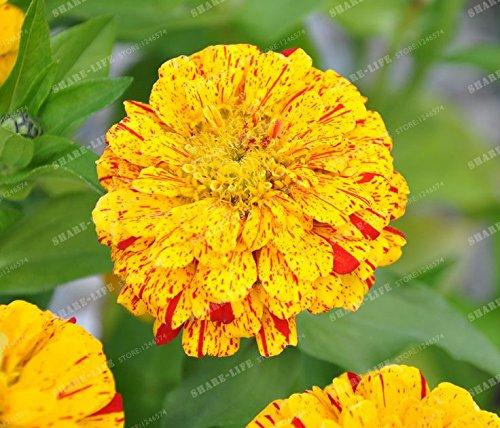 100PCS Zinnia Graines rares Variété chaleur Tolerant Jardin Fleur Plantes à fleurs en pot Charme chinois Fleurs Graines culture facile 8