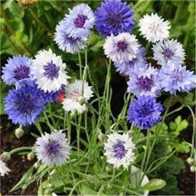 Grote Promotie! Balkon Bloempot Purple Korenbloem Centaurea Cyanus mooie plant bonsai tuin 100pcs / bag gemakkelijk te kweken: 1
