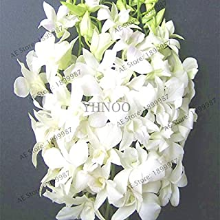 Dendrobium Flower - 100pcs Climbing Dendrobium Orchid Plant,Rare Flower Bonsai,high Germination Rate,Easy to Grow(Seed) - by Abuldahi