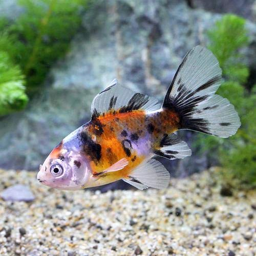 (国産金魚)ブリストル朱文金(1匹)