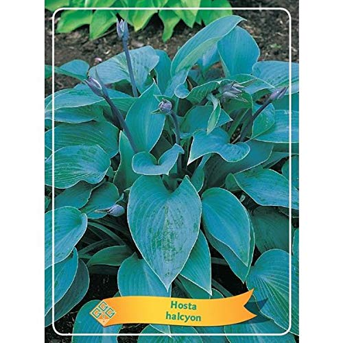 Hosta 25 cm - Funkien - Herzblattlilien Graublaue Funkie 'Halcyon'