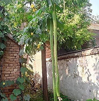 Riesen Loofah Seed Handtuch Kürbis Bio-Gemüsesamen, Hausgarten Zierpflanzen Köstliche nährstoffreiche Lebensmittel 5 PC