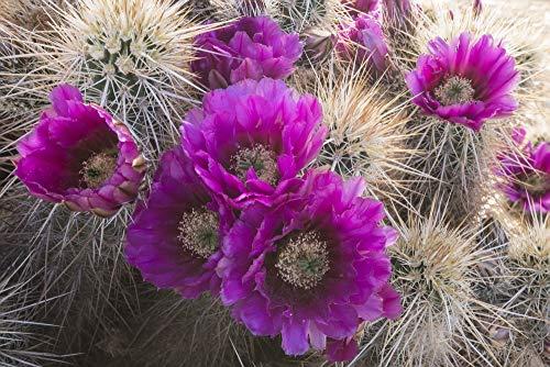 Posterazzi PDDUS03BTH0038 Arizona. Strawberry Hedgehog Cactus, Echinocereus engelmannii, Blooms vibrantly in Spring Photo Print, 18 x 24, Multi