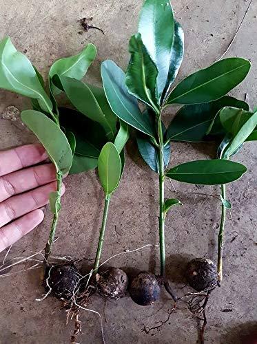 GETSO NEU! 2 Seeding alexandrinischen Lorbeer, Calophyllum inophyllum L. ?????? Thailand