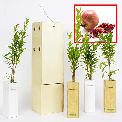 GRANADO. Arbolito de pequeño tamaño en caja de madera. Alveolo forestal del granado (4)