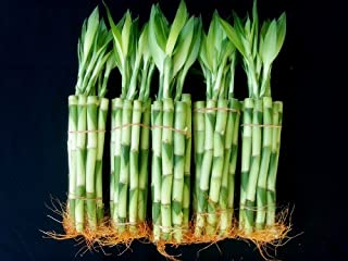 50 Stalks (5 Bundles) of 8 Inches Straight Lucky Bamboo Plants From Jm Bamboo