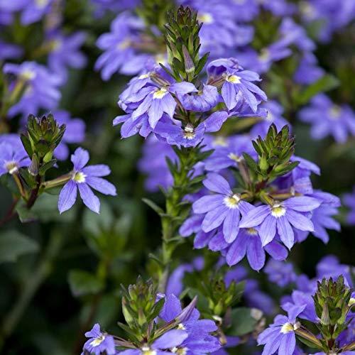 Pflanzen Kölle Fächerblume, 6er-Set, blau, Topf 13 cm Ø
