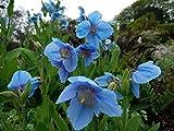 Meconopsis betonicifolia HimalayanPerennial semi! La restituzione della merce non è disponibile Vendiamo solo semi Spediamo a livello internazionale