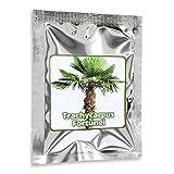 Hanfpalme Trachycarpus fortunei - Hanf Palmen Samen 10 Stück/Pack - Palmensamen - Winterhart bis -17 °C die frosthärteste Palmen weltweit