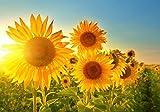 XXL Poster 100 x 70cm (S-841) Sonnenblumen im strahlenden