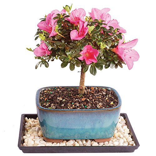 Brussel's Live Satsuki Azalea Outdoor Bonsai Tree - 4 Years Old; 6' to 8' Tall with Decorative Container, Humidity Tray & Deco Rock
