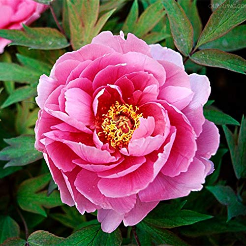 Shopvise Una Serie de Semillas de Flores Nacionales Peony 10 Piezas