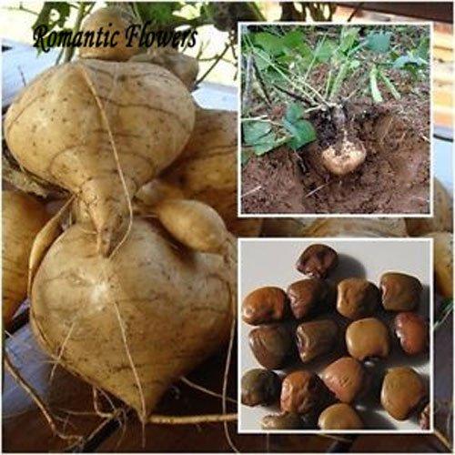 Yam Bean Seeds, très fruits sucrés et des plantes potagères, à haut rendement Sweet Seeds de s de terre, légumes délicieux et 10 particules / sac