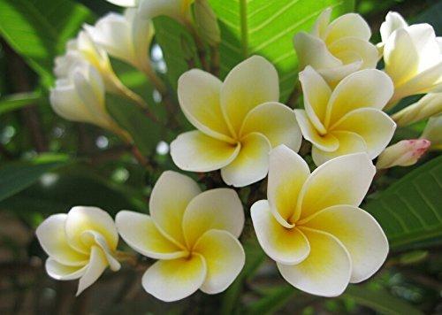20PCS / BAG Plumeria (Frangipani, hawaïen fleurs) Semences, rares graines de fleurs exotiques Graines Egg Flower