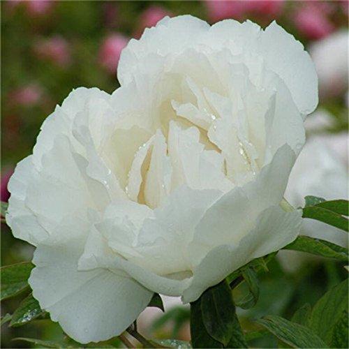 5 pièces/sac graines de pivoine, jaune, graines de fleurs de pivoine rose chinoise belles graines de bonsaï plantes en pot pour le jardin de la maison 7