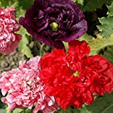 Outsidepride Peony Double Flower Seed Mix - 5000 Seeds
