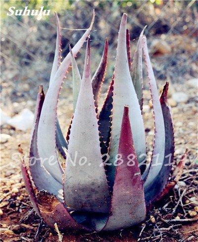 50 Pcs Aloe Vera Graines Beauté comestibles cosmétiques colorés Bonsai Cactus Succulentes Plantes Fleurs Légumes Fruits Graines Pour Balcon 14
