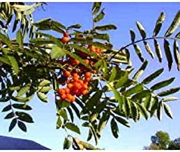Seeds Tree Mountain/Amur/Rowan - Sorbus Aucuparia Get 20 Seeds #LC01YN