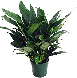 Hirt's Peace Lily Plant - Spathyphyllium - Great House Plant - 6