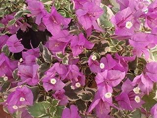 Two Live 4 Inch Bougainvillea 'Blueberry Ice' Purple-Pink Flowers. 4 Plants, 2 per Pot