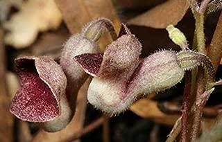 Best virginia snakeroot seeds Reviews