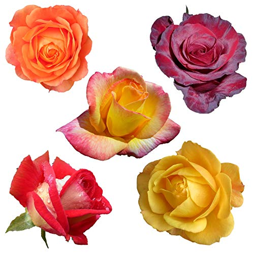 exotische Rosen - verschiedene natürliche Farben - 100 Samen (weiß,pink,gelb,hellgrün,dunkelrot,rosa.) Rosenart : rugosa Rose/Hybrid