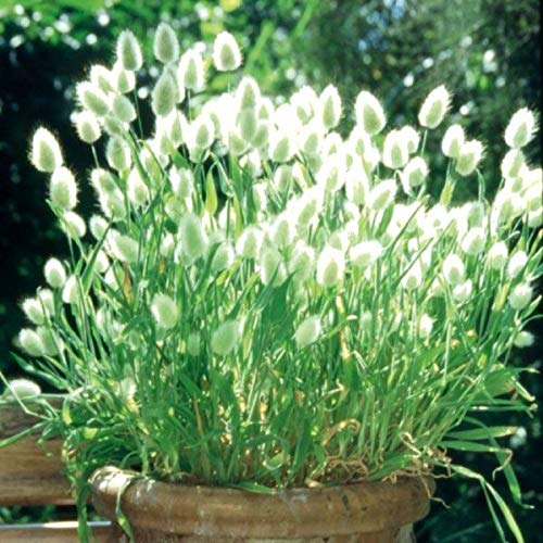 Keland Garten - Selten Ziergras Bunny Tails Hasenschwanzgras Lagurus ovatus Samtgras (Saatgut), flauschige Blütenständen, geeignet für Trockenblumen zur Deko im Haus, Steingärten, Balkon, Terrasse