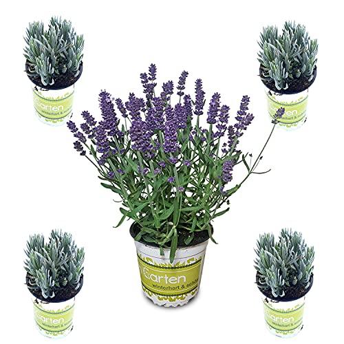 5 Lavendel-Pflanzen im Set (12 cm...