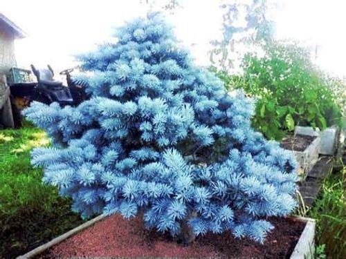 Azul de Colorado (Picea pungens) Semillas Evergreen Bonsái 20 ~ Paquete