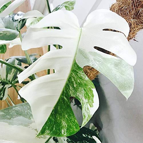 good01 100 Stücke Dekorative Weiße Monstera Palm Samen, Im Freien Wachsende Schildkröte Blätter Samen Gartenhof Balkon Bonsai 100 Stück Monstera Samen
