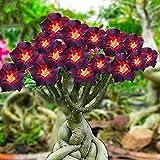 Rosa del desierto planta/Se puede cultivar en interior y exterior/Flor misteriosa-1,1bulbos