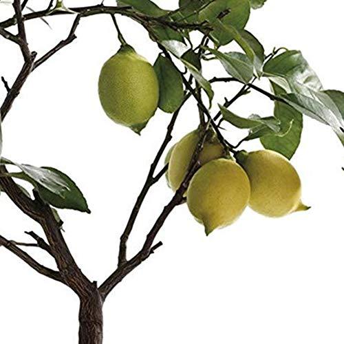 Centraliain Zitronenbaum Samen, 50 Stück Zitronenbaum Obst Samen Zierpflanze Garten Hof Farm Bonsai Dekor Zitronenbaumsamen