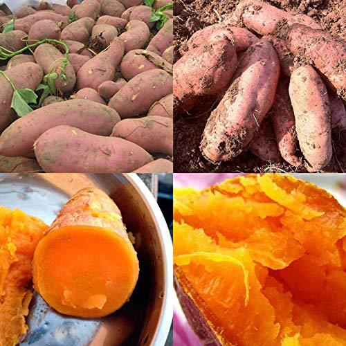 Oce180anYLVUK Semi di patata dolce, 50 pezzi/borsa Semi di patata dolce rinfrescante Patata Semi di ortaggi facili da coltivare per giardino Sweet Potato Seeds