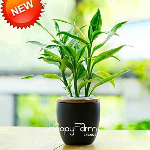 Sale! 100 / Graines Pack de Phnom Penh Dracaena Potted Balcon Lucky Bamboo Plantes Radiation Seeds Absorption des plantes, # XBR8KB
