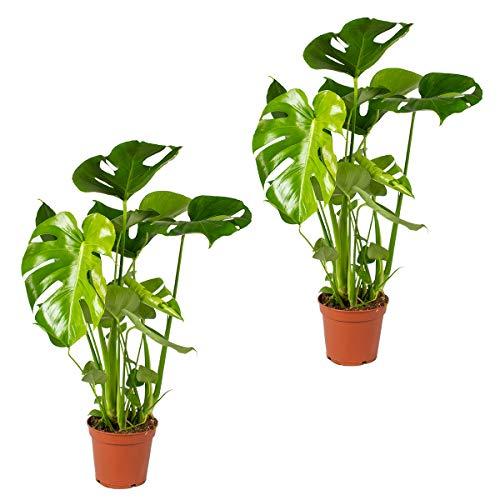 Lochpflanze   Monstera 'Deliciosa' pro 2 Stück - Zimmerpflanze im Kinderzimmertopf cm17 cm - 65 cm