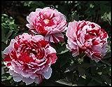 Bulbos De Peonía,Cuidado Simple,Vale La Pena Plantar,Vistoso,Alta Tasa De GerminacióN,Exquisitas Flores Cortadas,Plantas Decorativas-2 Bulbos,Rojo
