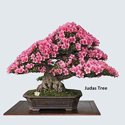 Bonsai Judas Tree Seeds   10 Seeds   Flowering Tree Prized for Bonsai