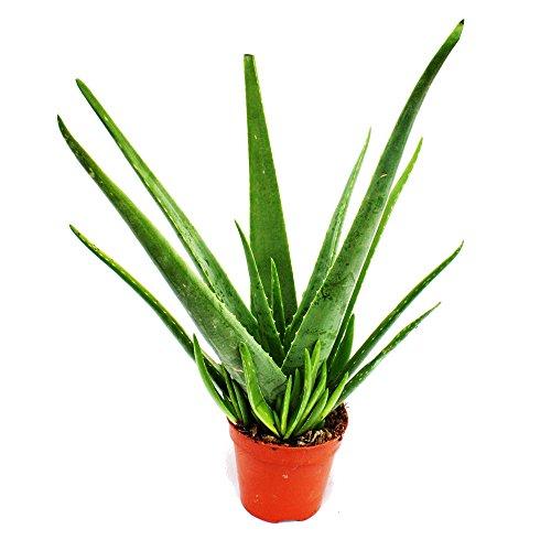 Aloe Vera, circa 4–5anni, vaso 15 cm