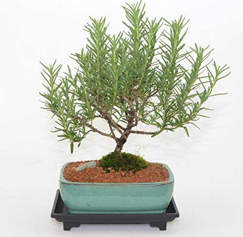 Indoor Bonsai, Rosemary, 5 Years Old, Broom Style, Edible with Free Watering Tray