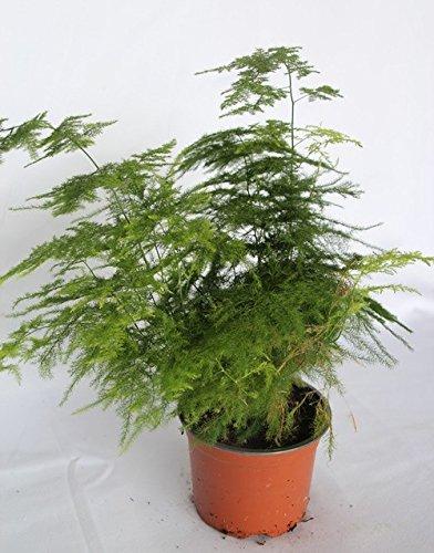 Esparraguera plumosa (maceta 12 cm Ø) - Planta viva de interior