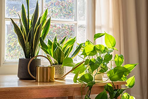 "AMERICAN PLANT EXCHANGE Marble Queen Pothos Easy Care Live Plant, 6"" Pot, Top Indoor Air Purifier"