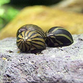 (エビ・貝)シマカノコ貝(10匹) 本州・四国限定[生体]