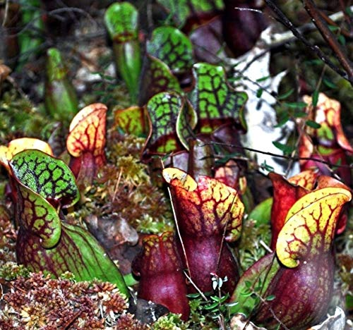 40 Seeds: Purple Pitcher Plant Sarracenia purpurea, Hardy Zones 3-8! Native Bulk Seeds