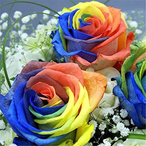 RETS Seeds: display08 200 PC Multi-Farbe Regenbogen-Rosen-Samen Garten s Seeds