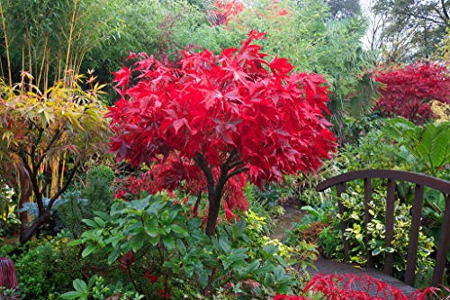 Acero rosso giapponese'acer palmatum osakazuki' in vaso 10L