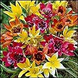 Shoppy Star: 100 Tulip Zwiebeln - Species Tulip Mischung, Botanische Tulpen benötigen keine Chilling Zeitraum
