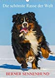 Die schönste Rasse der Welt - Berner Sennenhund (Wandkalender 2020 DIN A3 hoch)
