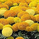 Marigold African Type Yellow nana 50 Seeds - Tagetes Erecta
