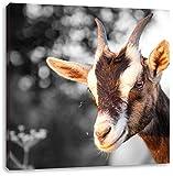 süße Ziege schwarz/weiß, Format: 60x60 auf Leinwand, XXL